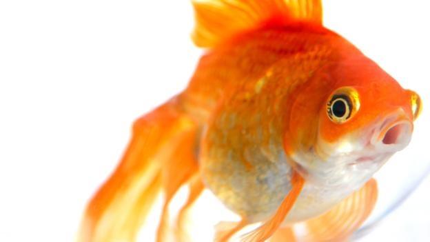 A goldfish.